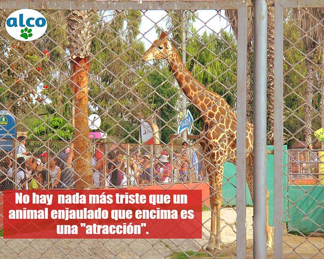 Esta jirafa llamada Domingo llegó desde el zoológico Metropolitano de Chile en reemplazo de la fallecida jirafa Penny. (Fecha: 04/02/18).