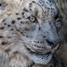 Zoe, Snow Leopard by beachwalker2007