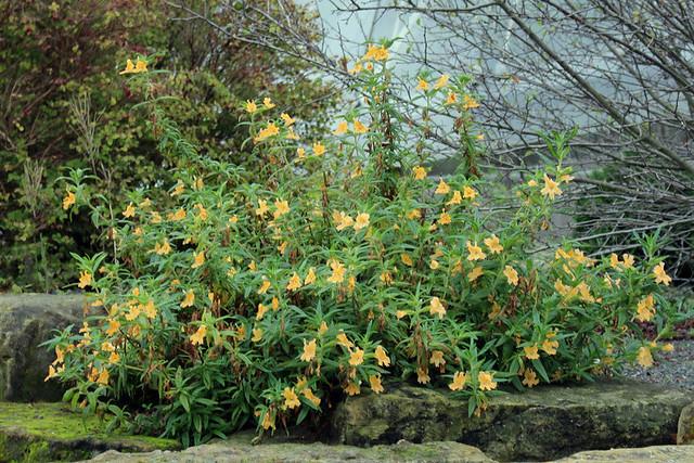 Diplacus aurantiacus (W. Curtis) Jepson (Syn. Mimulus aurantiacus W. Curtis) - Kew Gardens