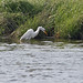 Great White Heron - Sandy Hook 02