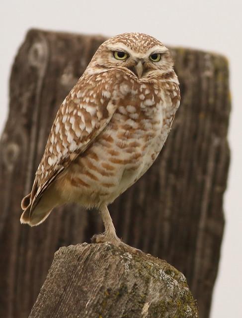 Burrowing Owl, Canon EOS 7D, EF400mm f/5.6L USM