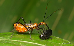 Assassin bug, Reduviidae & Beetle