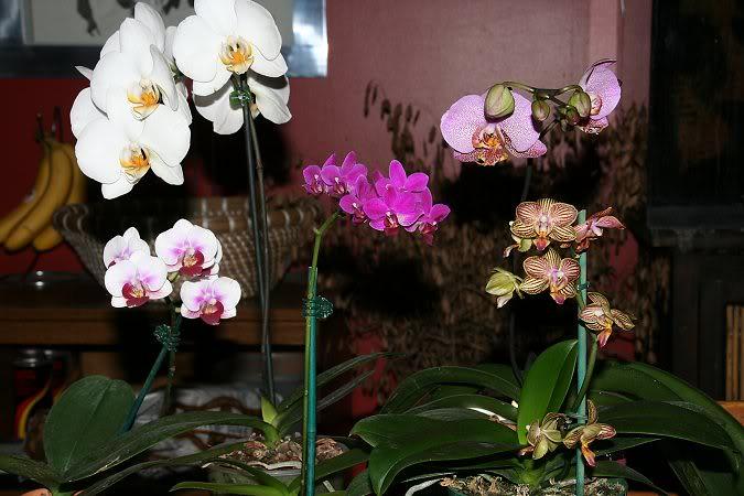 Les orchidées chez Sougriwa - Page 3 39109048194_6fc0570b92_b