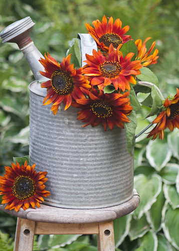Orange Sunflowers In Watering Can