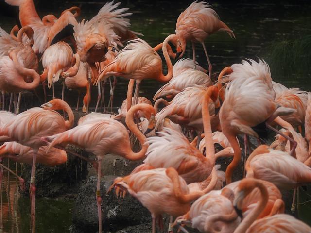Flamingos, Panasonic DMC-G6, Lumix G Vario 45-200mm F4.0-5.6 Mega OIS