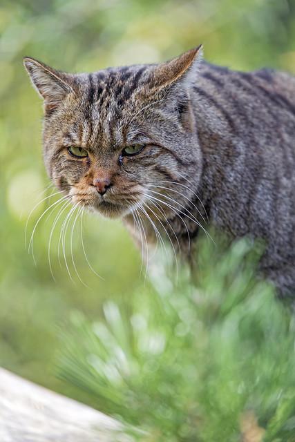 Wildcat portrait