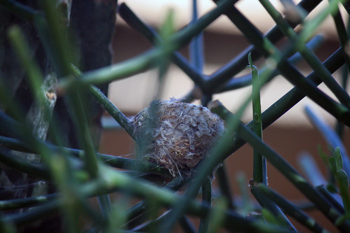 Hummingbird nest Feb 13 2018 (7958)