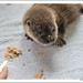 Otter cub lunchtime