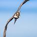 Peregrine Falcon by Greg Gard