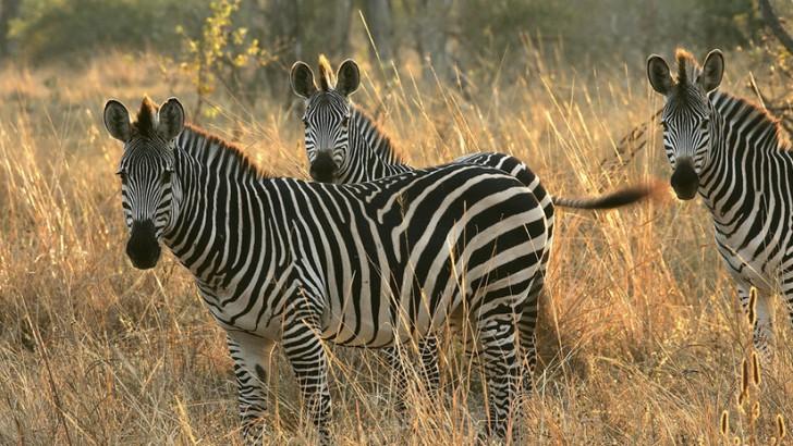 zebras7