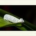 Thracides phidon - Common Mimic-Skipper
