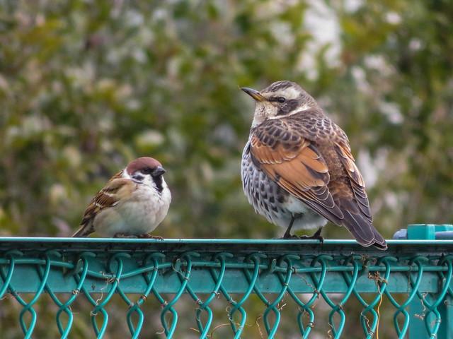 Sparrow & dusky thrush