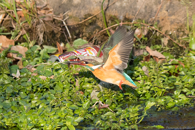 20180212-kingfisher-DSC_8752