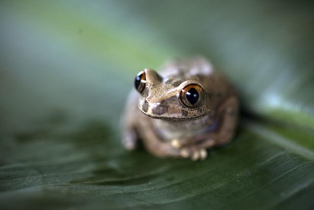 Pause grenouille - leptopelis aubryi