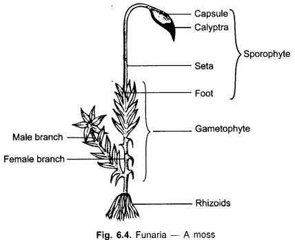 Cbse class 9 science practical skills plant kingdom cbse class 9 science practical skills plant kingdom ccuart Images