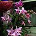 under lights, Laelia anceps #2 species orchid 1-18