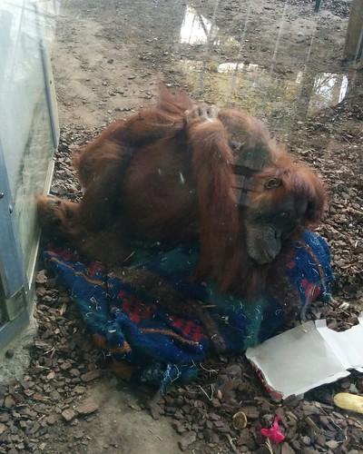 Orangutan #toronto #torontozoo #orangutan #mammal #primate #latergram