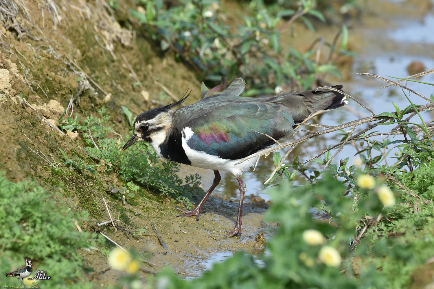 Northern_Lapwing_7838