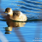 Aves en las lagunas de La Guardia (Toledo). 21-1-2018