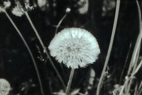 Dandelion - Polapan