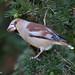 Hawfinch (Coccothraustes coccothraustes coccothraustes)