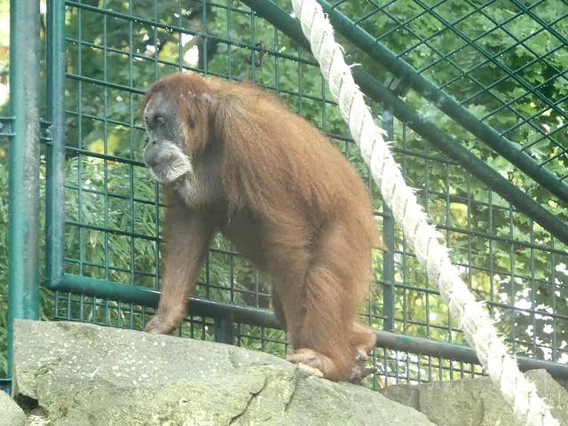 Orang-Utan, Zoo Dresden