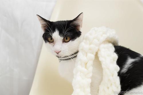 アトリエイエネコ Cat Photographer 27906669849_823b42bbe4 1日1猫!高槻ねこのおうち 里親募集中のジョンくんです♪ 1日1猫!  高槻ねこのおうち 里親様募集中 猫写真 猫 子猫 大阪 写真 カメラ Kitten Cute cat
