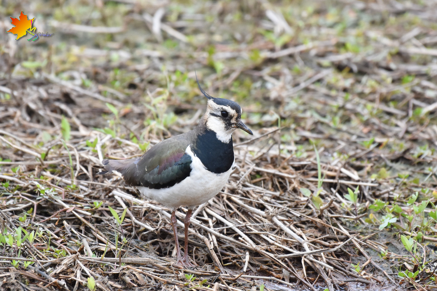 Northern_Lapwing_8513