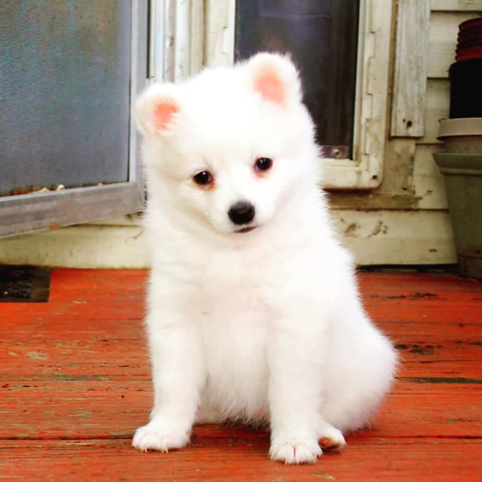 A45 Toy American Eskimo Puppies Pansy Bilal Flickr