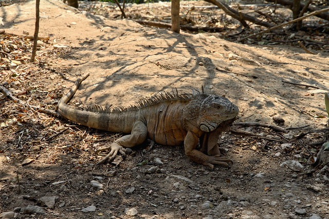 The beautiful iguana