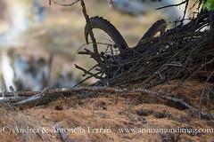 Alpine ibex Capra ibex