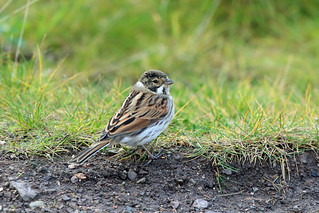 Common Reed Bunting, Musselburgh, East Lothian, Scotland