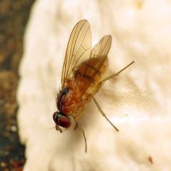 Orange Root-maggot Fly