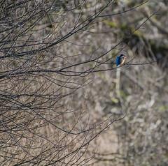 HolderDSC_5379 Kingfisher-1600x1589