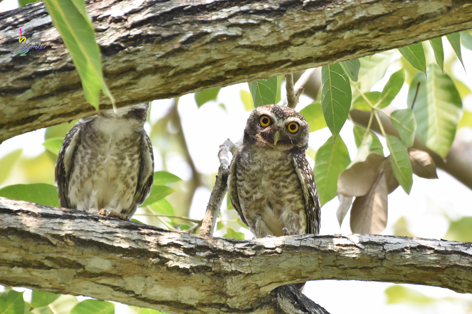 Spotted_Owlet_0365