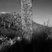 Majestic old saguaro cactus