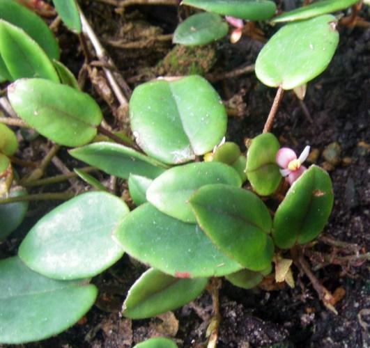 Begonia elaeagnifolia 39737795461_7d15e955a7_o