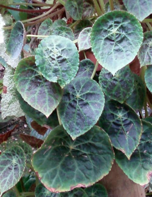 Begonia goegoensis 39810067751_4fe8f29827_o