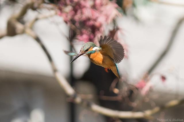 20180127-kingfisher-DSC_6146