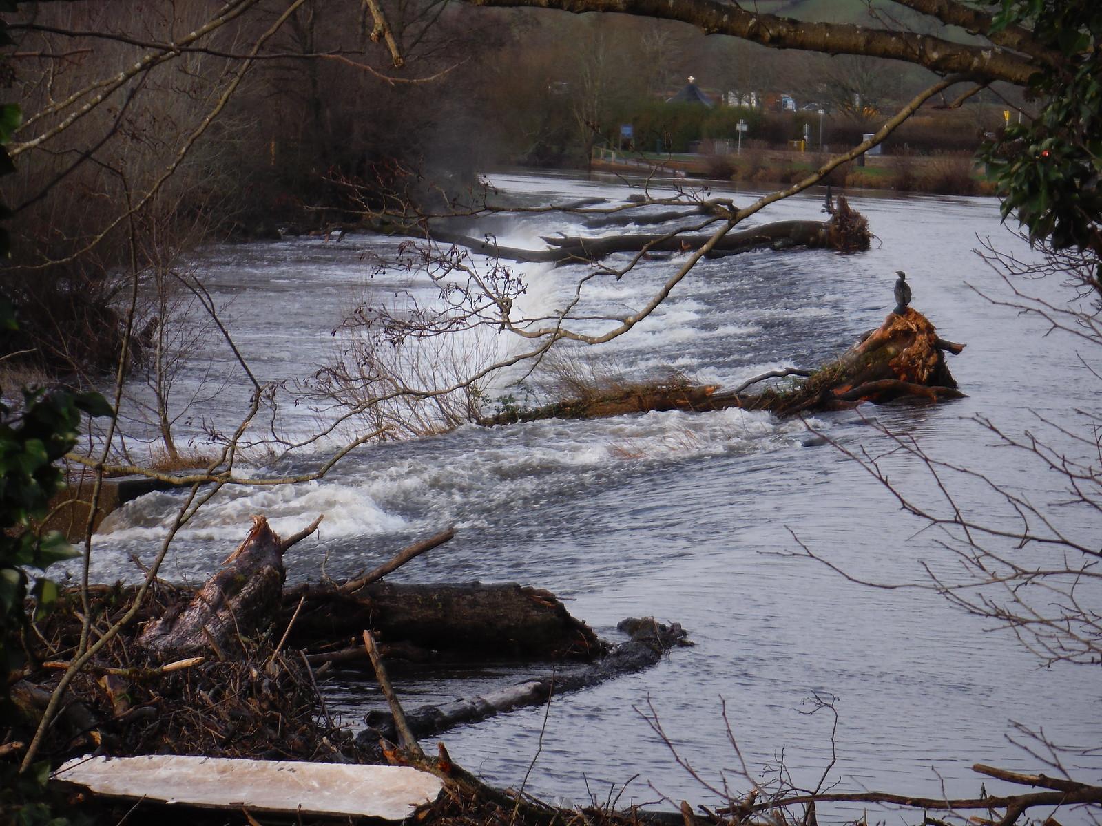 Kormorant on Weir in River Usk SWC Walk 306 - Brecon Circular (via Y Gaer, Battle and Pen-y-crug)