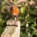 The English Robin @ SE15