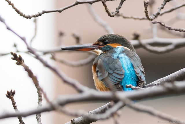 20180108-kingfisher-DSC_3354