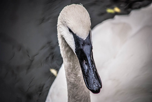 Swan Looking for Food