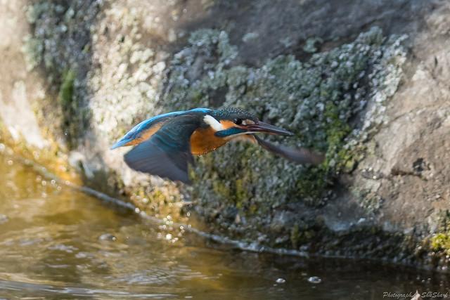 20180211-kingfisher-DSC_8232
