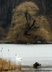 Goose & Swan with Willow