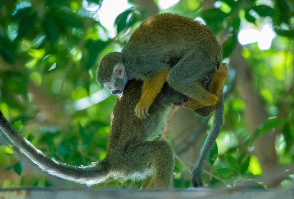 Squirrel Monkey_3