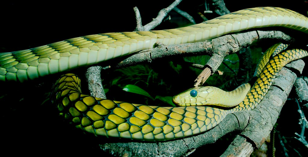 West African Green Mamba_5