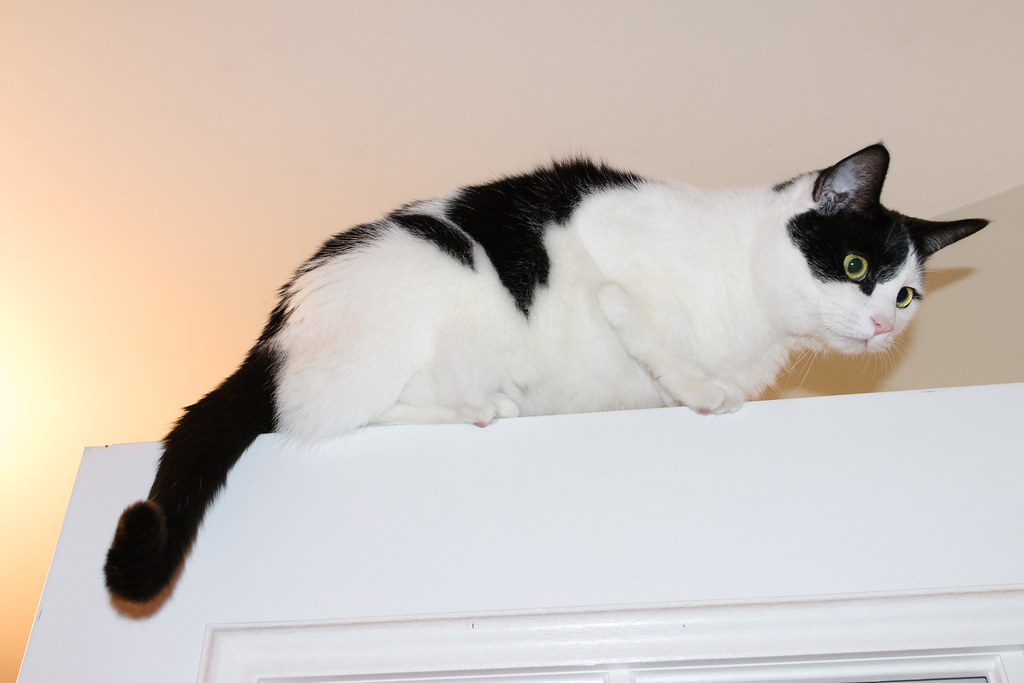 Our black-and-white cat Scout sits on top of the door