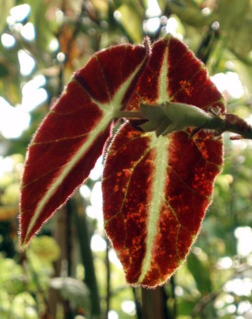 Begonia listada 28201178199_14ab5e1f86_o