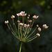 Sunlit Umbelliferous Plant at Dundee University Botanic Gardens